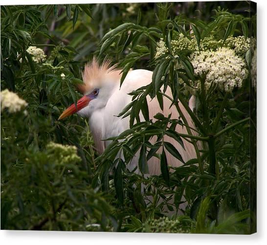 Sleepy Egret In Elderberry Canvas Print