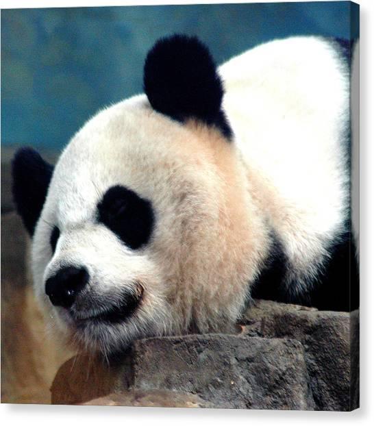 Smithsonian Museum Canvas Print - Sleepy Panda by LeeAnn McLaneGoetz McLaneGoetzStudioLLCcom