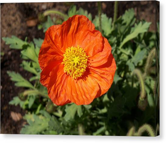 Small Orange Poppy Canvas Print
