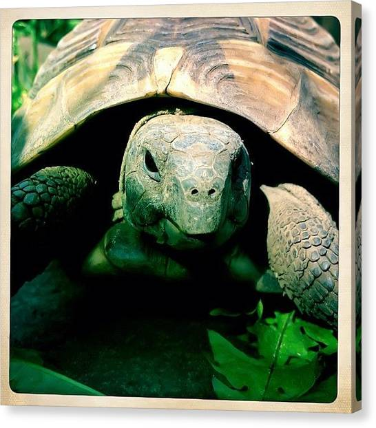 Tortoises Canvas Print - #smile #turtle #tortoise by Kristin M