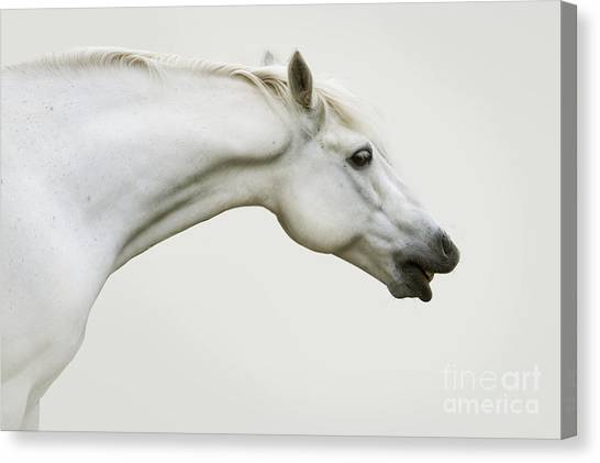 Smiling Grey Pony Canvas Print
