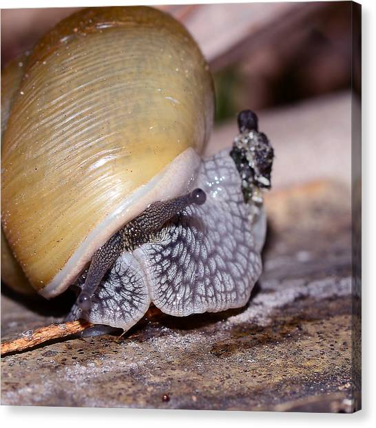 Snail Canvas Print by Michelle Armstrong