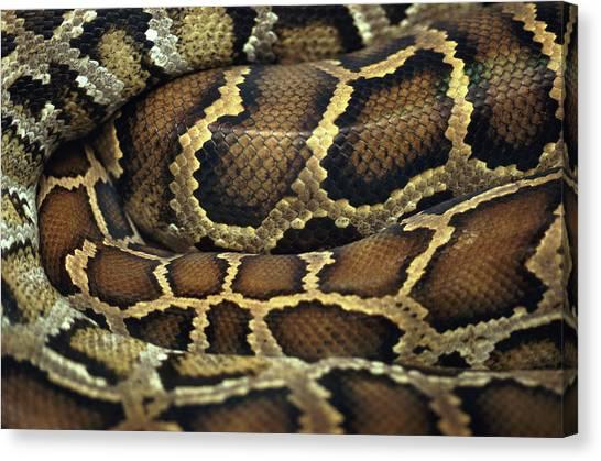 Poisonous Snakes Canvas Print - Snake by John Foxx