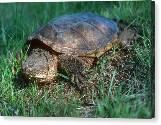 Snapping Turtles Canvas Print - Snapping Turtle by Georgette Douwma