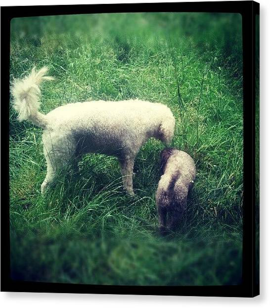 Poodles Canvas Print - Snorting Some Grass by Jake Delmonte
