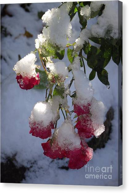 Snow Covered Roses Canvas Print