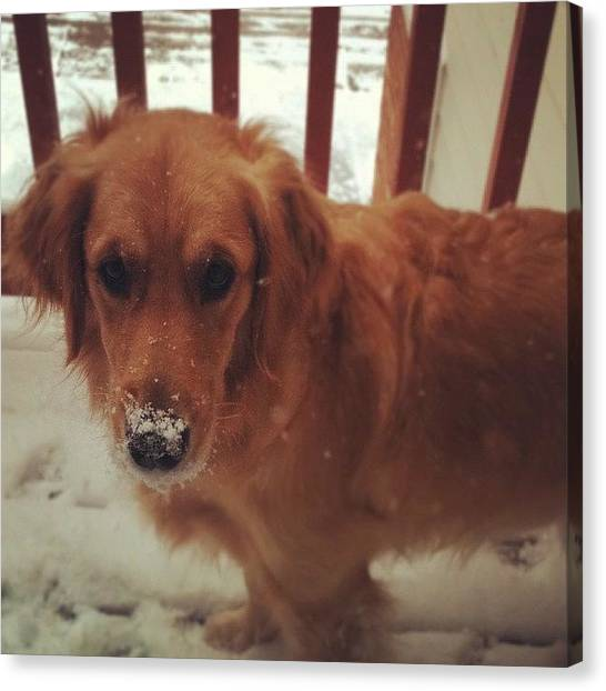 Golden Retrievers Canvas Print - Snow Dog by Emily White