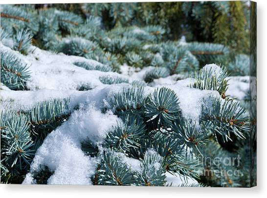 Snow In The Pines Canvas Print
