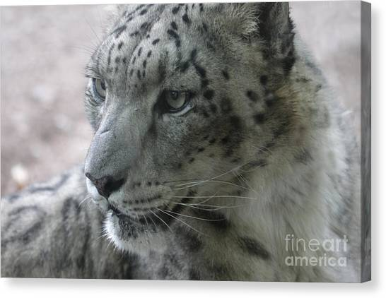 Snow Leopard Profile Canvas Print by Chris Hill