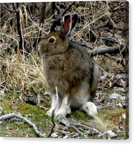 Snowshoe Hare Canvas Print by Mark Caldwell