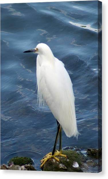 Snowy Egret 1 Canvas Print