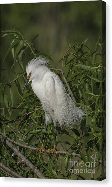 Snowy Egret In Breeding Plumage Canvas Print