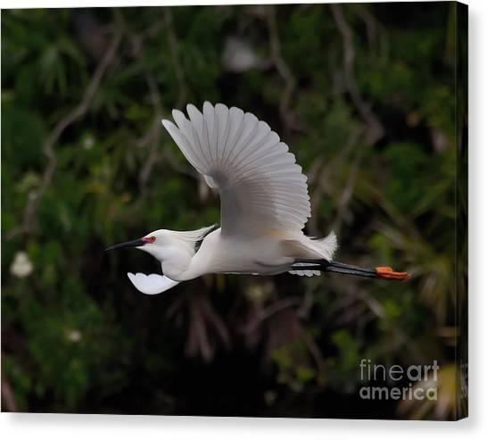 Snowy Egret In Flight Canvas Print