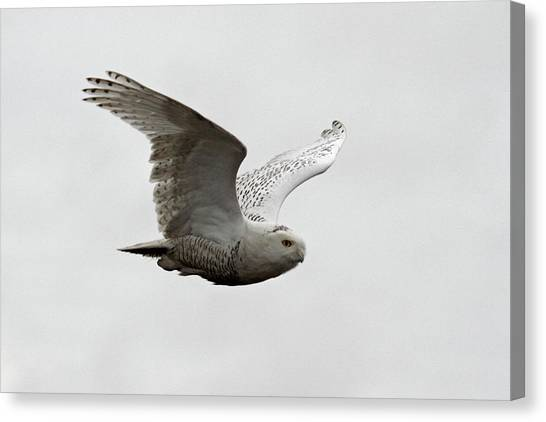 Snowy Owl In Flight Canvas Print by Pierre Leclerc Photography