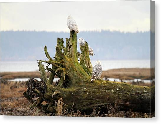 Snowy Owls Canvas Print by Pierre Leclerc Photography