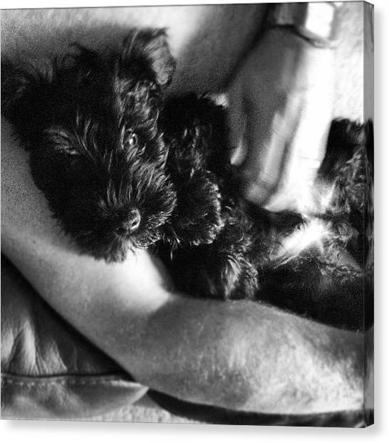 Schnauzers Canvas Print - Snuggles With My Dad On The Sofa #ozzie by Laurena Pascoe