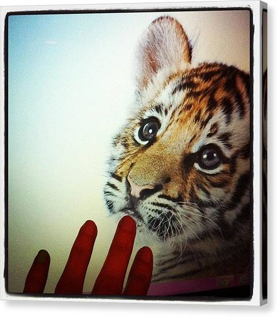 Tigers Canvas Print - So Cute!!!! #cute #yummy #love by May Pinky  ✨