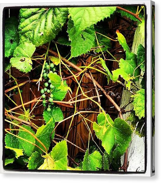 Grapes Canvas Print - So That Giant Vine In Our Back Yard? by Rob Murray