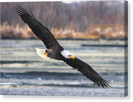 Soaring Bald Eagle Canvas Print by Carrie OBrien Sibley