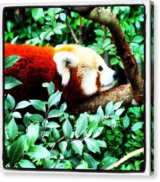 Social Canvas Print - #social #zoo #animals #wildlife by Susan McGurl