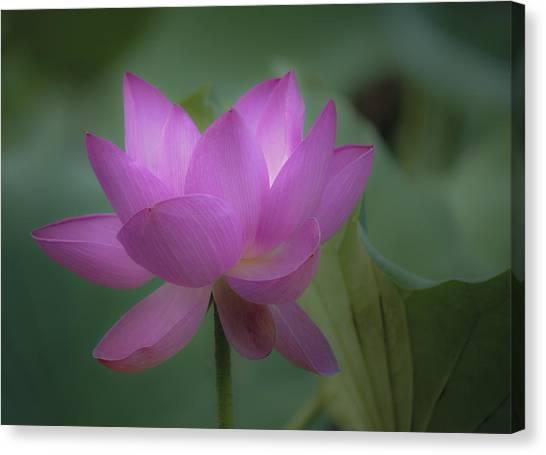 Soft Lotus Canvas Print