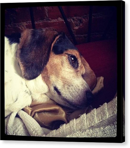 Beagles Canvas Print - Somebody Got Up Earlier Than Usual by Stevie D Gray