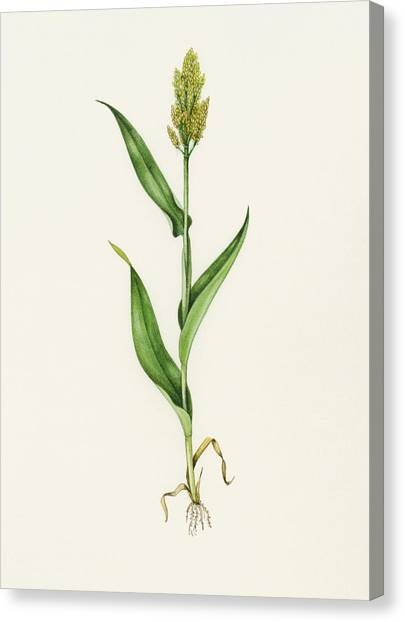 Sorghum (sorghum Bicolor), Artwork Canvas Print by Lizzie Harper