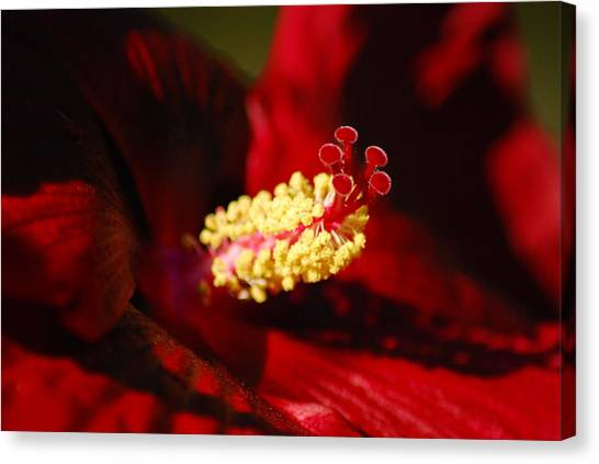 Southern Belle Hibiscus Canvas Print