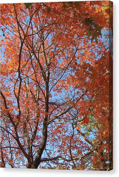 Southern Illinois Maple Canvas Print by Paul Louis Mosley