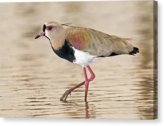 Lapwing Canvas Print - Southern Lapwing by Tony Camacho
