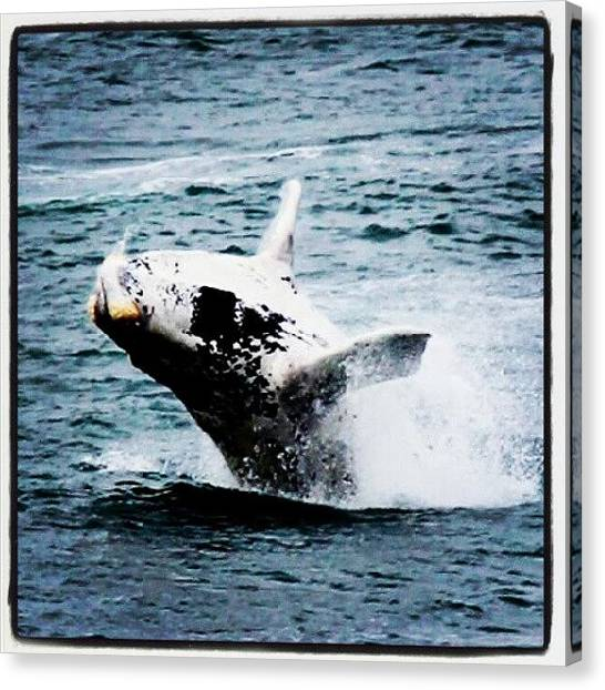 Whales Canvas Print - Southern Right Whale by Avi Dvilansky
