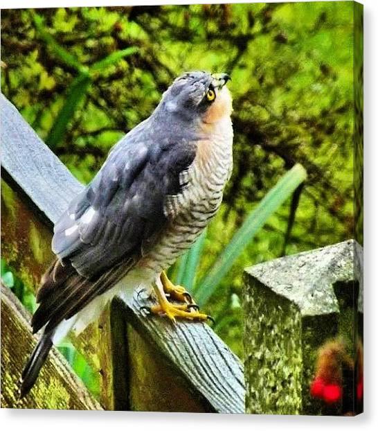 Hawks Canvas Print - Sparrow Hawk In The Garden by Mike Williams