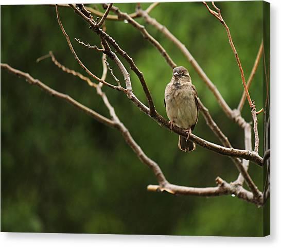 Sparrow In The Rain Canvas Print