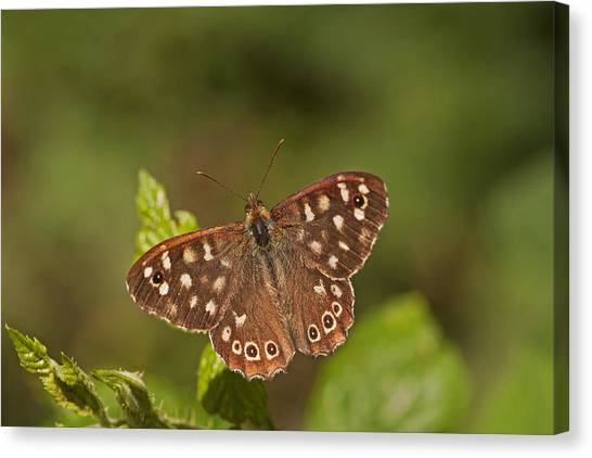Speckled Wood Canvas Print by Paul Scoullar