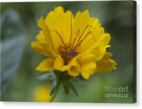 Spider Hammock Canvas Print