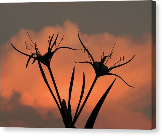 Spider Lilies At Sunset Canvas Print