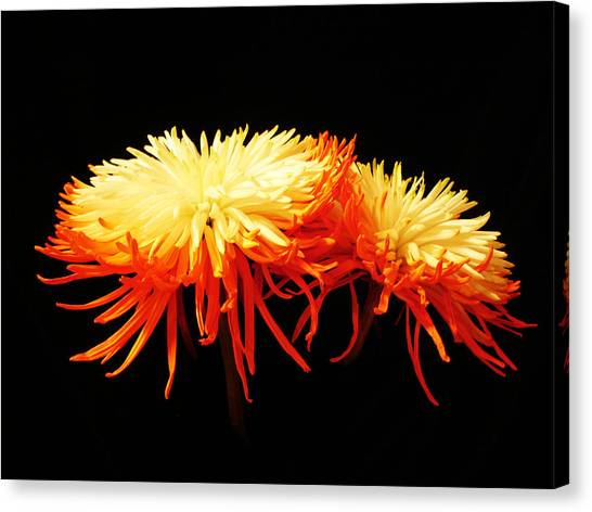 Spider Mums Canvas Print by Yvonne Scott