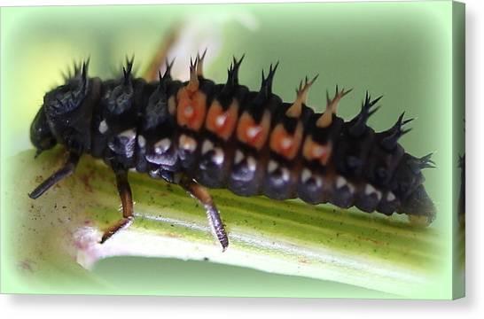Spiky Caterpillar  Canvas Print by Maureen  McDonald