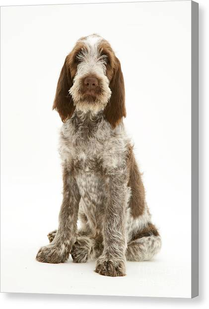 Spinone Canvas Print - Spinone Puppy by Jane Burton