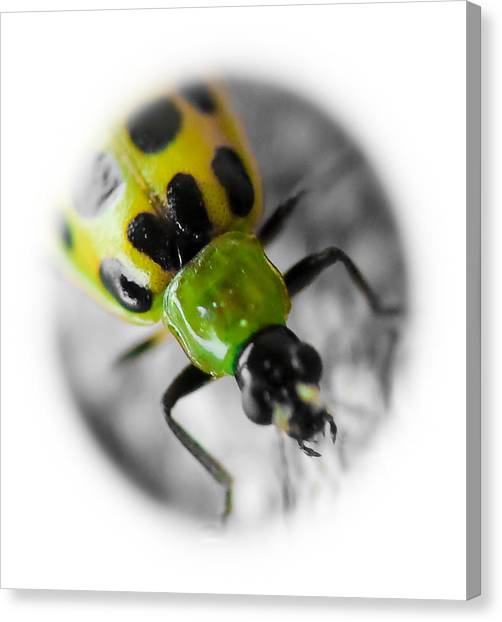 Spotted Cucumber Beetle Canvas Print by Maureen  McDonald