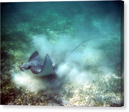 Spotted Eagle Ray Feeding Canvas Print