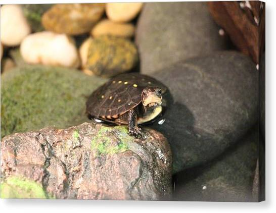 Spotted Turtle Canvas Print by Chad  Laba