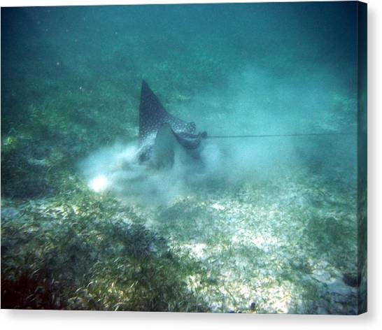 Sppoted Eagle Ray In The Feed Canvas Print