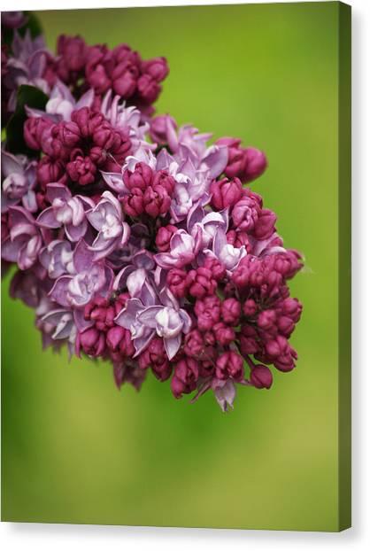 Spray Of Lilac II Canvas Print by Laine Zunte