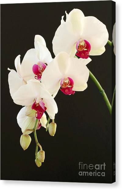 Spray Of White Orchids Canvas Print