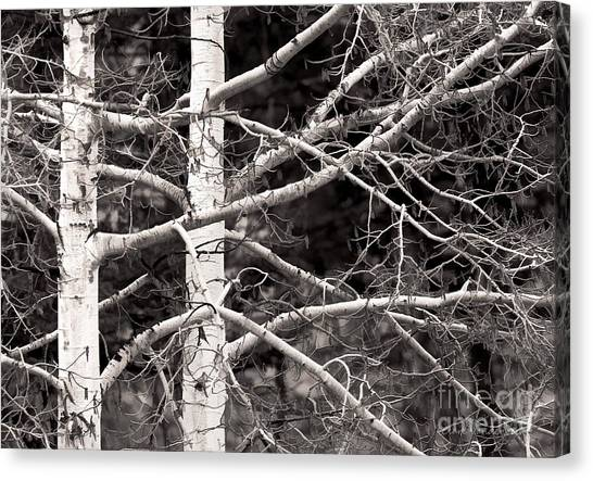 Spring Aspens Canvas Print by Clare VanderVeen