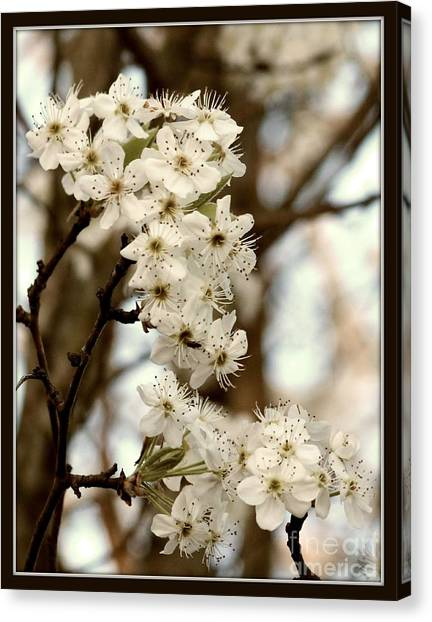 Spring Blossoms Canvas Print by Megan Wilson