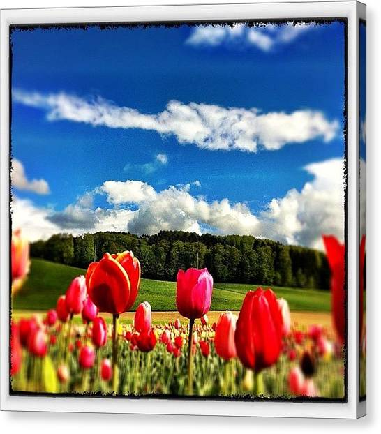 Tulips Canvas Print - Spring In Switzerland by Urs Steiner