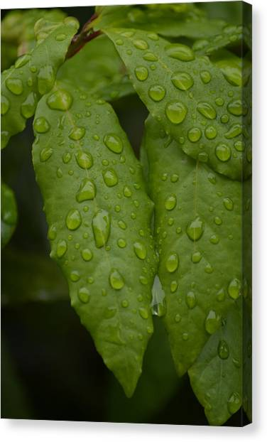 Spring Leaves Canvas Print by Dickon Thompson