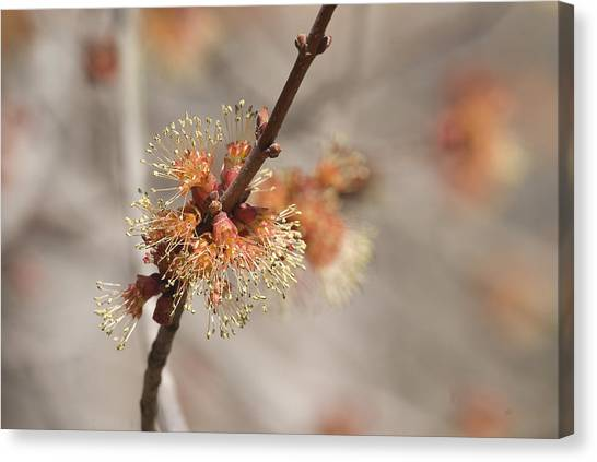 Spring Tree Bud Canvas Print